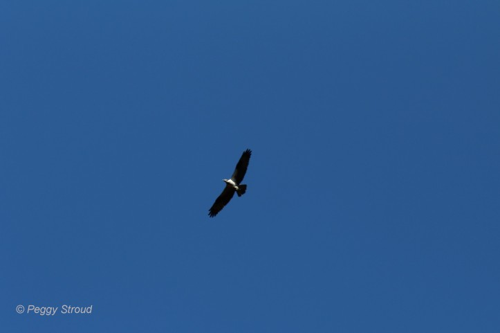 Osprey 21