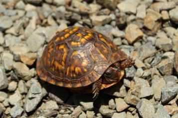 A young box turtle.