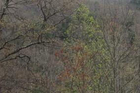 Budding Trees 2