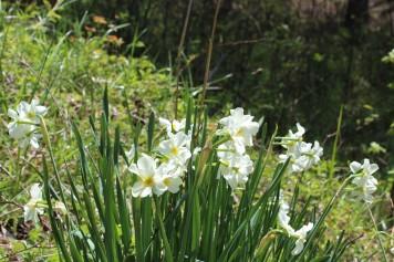 Daffodils Wood Edge