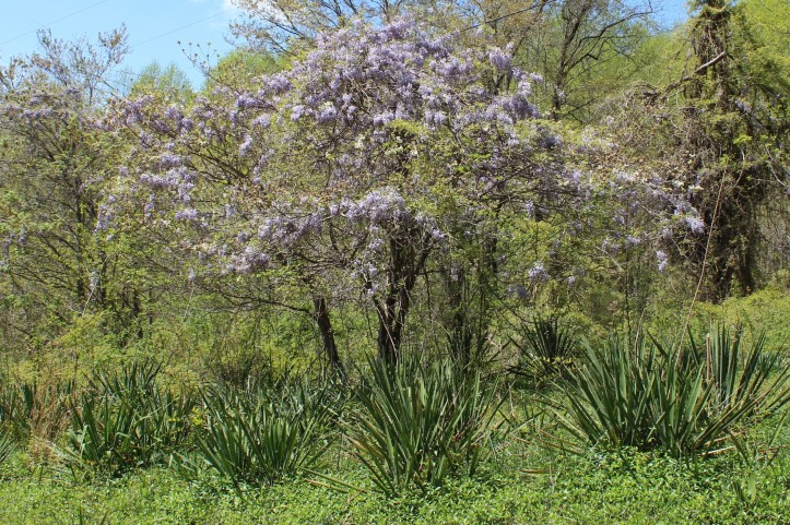 Hibiscus Dogwood