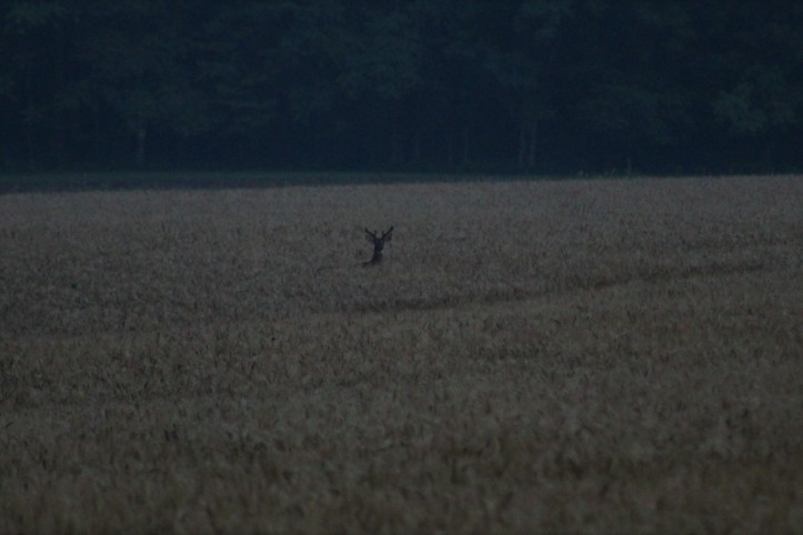 Buck in Wheat Field