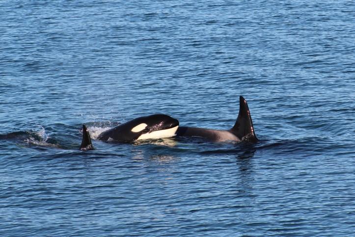Orca Family 2